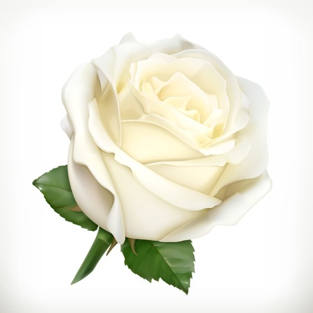 isolated on white: White rose, vector illustration