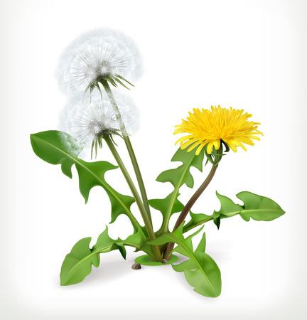 Dandelion flowers, vector icon Illustration