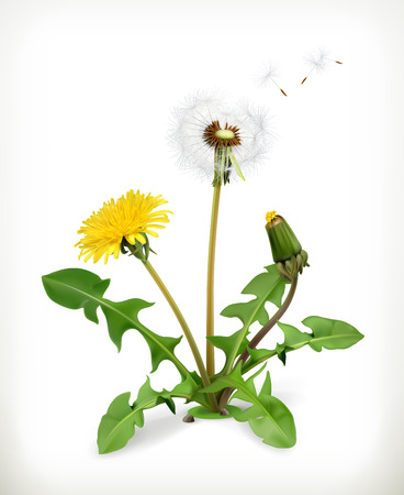 Dandelion, summer flowers, vector illustration isolated on white background Vettoriali