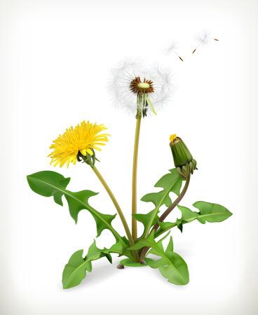 Diente de león, flores de verano, ilustración vectorial aislados en fondo blanco