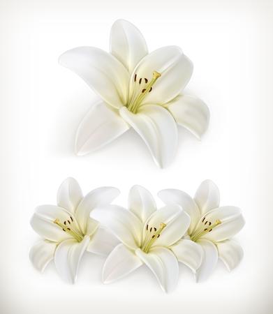 flor de lis: Lirio blanco, iconos vectoriales