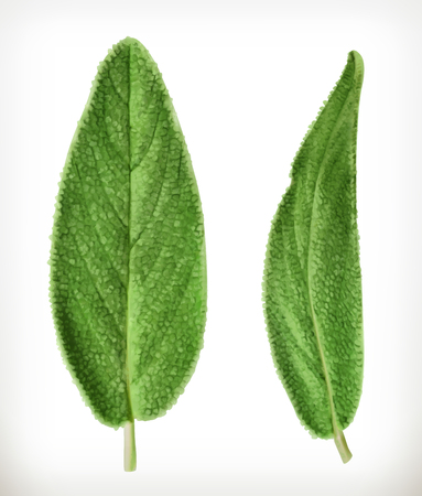 salvia: Salvia leaves vector icons, isolated on white background
