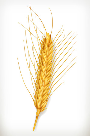 winter wheat: Ear of wheat vector icon, isolated on white background Illustration