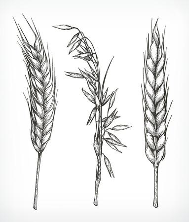 作物、小麦やオーツ麦のスケッチ、手描き、ベクトルを設定