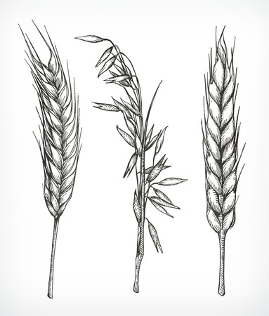 Crops, wheat and oat sketches, hand drawing, vector set Illustration