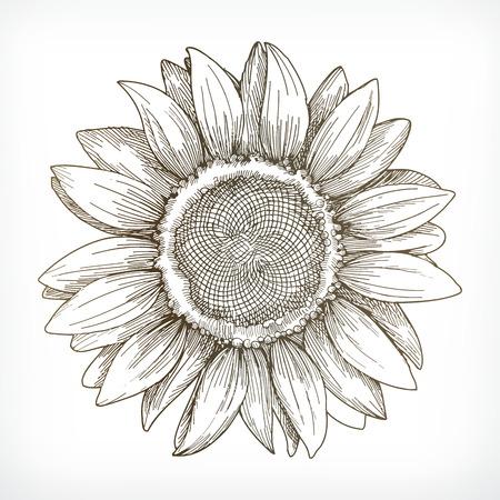 ひまわりスケッチ、デッサン、白の背景にベクトル イラストの手  イラスト・ベクター素材