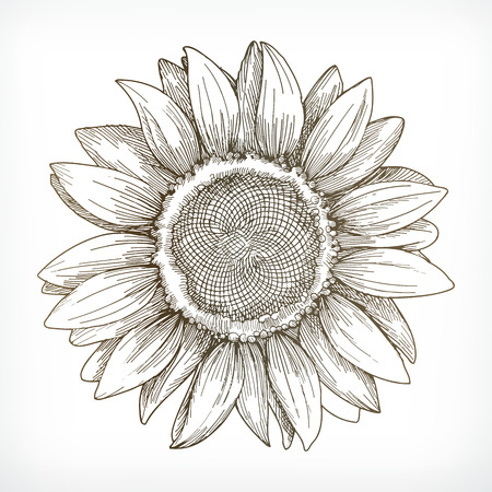 sunflower sketch hand drawing vector illustration on white