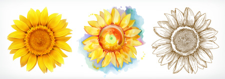 sunflower drawing: Sunflower, different styles, vector drawing, icon set  on white background