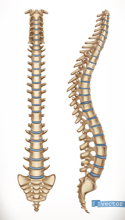 Spine structure. Front and side view. Human skeleton, medicine. 3d vector icon