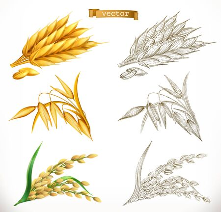 Ears of wheat, oats, rice. 3d realism and engraving styles. Vector illustration Vektorové ilustrace