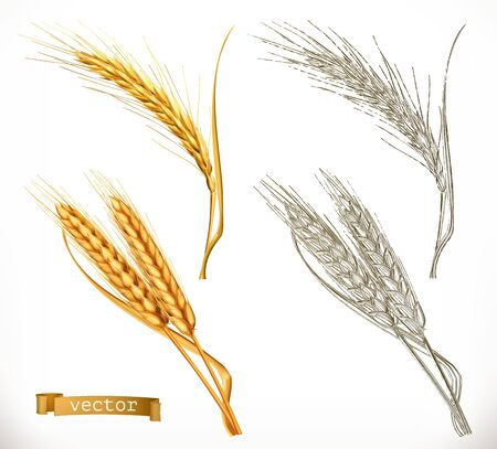Ears of wheat. 3d realism and engraving styles. Vector illustration