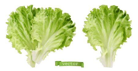Lettuce. Leaf vegetable, 3d realistic vector