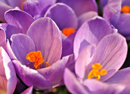 crocuses: Purple crocuses, close-up Stock Photo