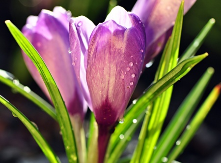 Purple crocuses with the droplets of rain photo
