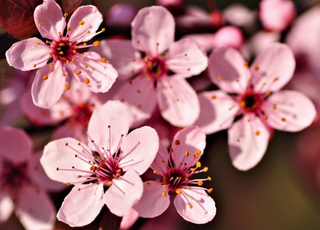 prunus cerasifera: Close-up of plum tree blossom, Prunus cerasifera Pisardii Stock Photo