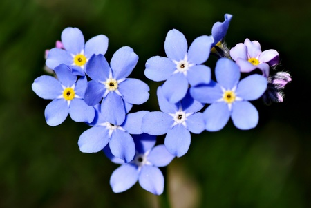 Heart-shaped forget-me-nots, close-up photo