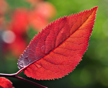 prunus cerasifera: Red leaf of Prunus cerasifera Pissardii Stock Photo