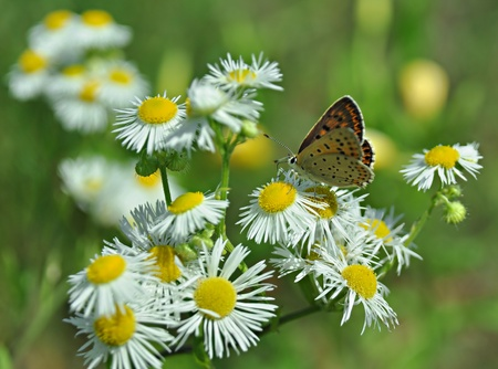 lycaena: Purplish copper butterfly on white chamomile flowers, Lycaena helloides