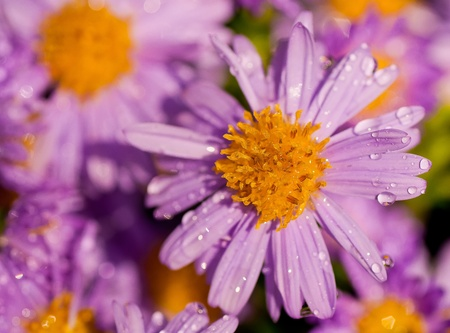 Purple asters in the autumn photo