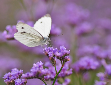 purple butterfly: Cabbage butterfly on purple flowers of limonium Stock Photo