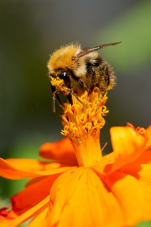 Humble-bee sitting on an orange flower photo