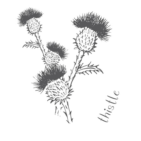 Thistle thorn plant grass drawn by hand