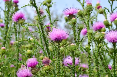 Thistle flower purple thorn grass blue sky