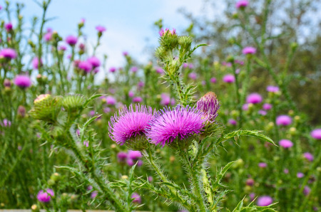 Thistle flower purple thorn grass blue sky