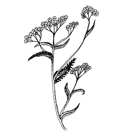 Doodle milfoil of medicinal herb drawn contour