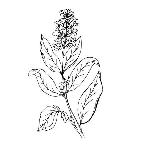 Doodle erba salvia, dipinta a mano contorno nero Archivio Fotografico - 90705384