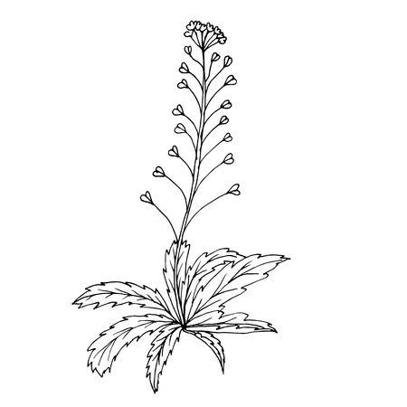 Doodle shepherd's purse medicinal plant black outline on a white background Ilustrace