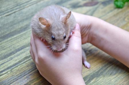 cute hamster homemade in baby hands selective focus Stockfoto
