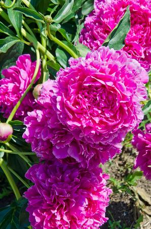 Burgundy peonies flowers in the garden in spring, selective focus