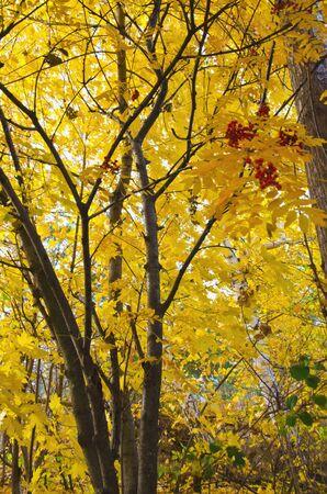 autumn mountain ash with yellow foliage selective focus