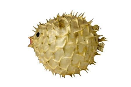 pez globo: Globefish relleno aislado en el fondo blanco Foto de archivo