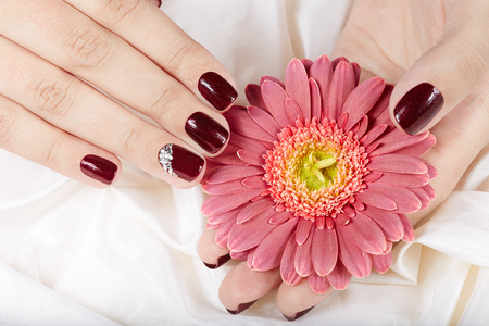 Hands with short manicured nails colored with dark purple nail polish holding pink Gerbera flower Stockfoto