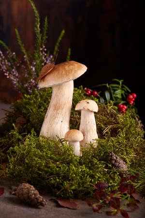 Family of boletus mushrooms. Cep Mushrooms in clump of moss decorated with lingonberries, heather and cones. Still life, wooden background. Stockfoto