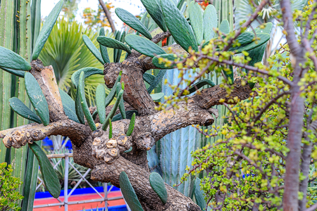 Plants in nature, in the natural environment. Cactus in the garden, park, under the open sky. Morocco