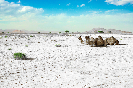 A cute, wild, single-humped camel lies on the ground in the Moroccan desert, in its natural environment. The frame is post-processed to emphasize drought, green grass and camels.