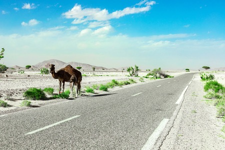 A cute, wild, one-humped camel stands along the road in the Moroccan desert, in its natural environment, arid desert. The frame is post-processed to emphasize drought, green grass and camels.
