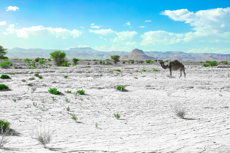 A cute, wild, single-humped camel in the Moroccan desert, in its natural environment. The frame is post-processed to emphasize drought, green grass and camels.