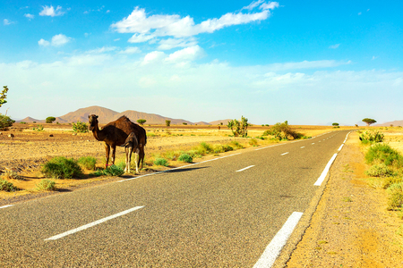 A cute, wild, single-humped camel lies on the ground in the Moroccan desert. Morocco