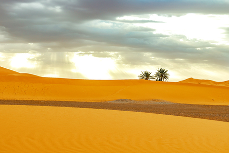 Sand dunes and palm in the Sahara Desert, Morocco