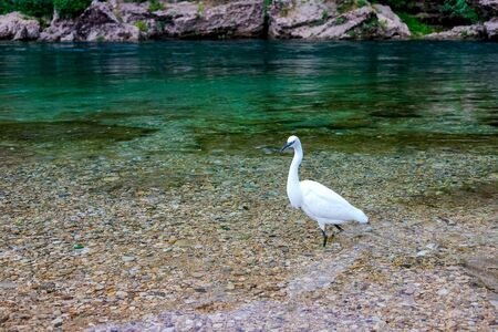 A white heron in the river is hunting fish. Mostar, Bosnia and Herzegovina.