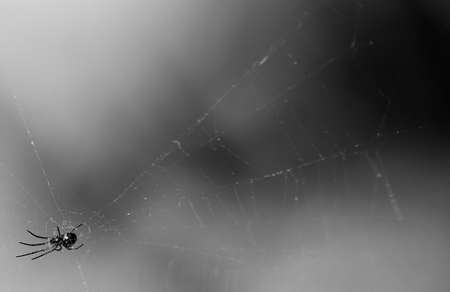 Black and white spider in web