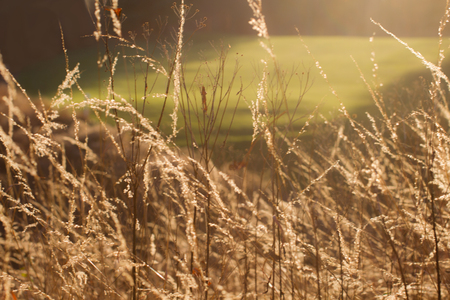 Golden sunlight illuminating field of grass beside golf course Stok Fotoğraf