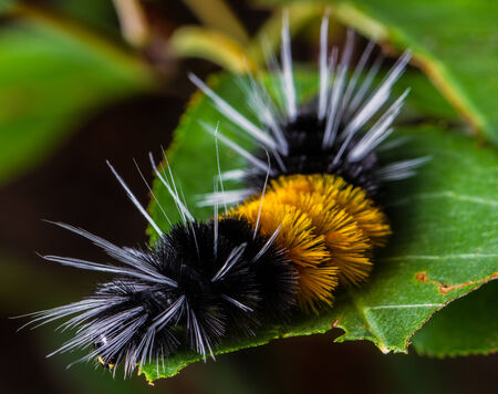 The larval form Lophocampa maculata, this caterpillar goes by the name Spotted Tussock Moth, Mottled Tiger or Spotted Halisidota  Stok Fotoğraf