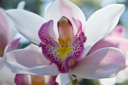 orchids: The purple and white flowers, in Thailand. Stock Photo