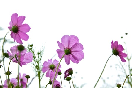 Cosmos flower in the mist.