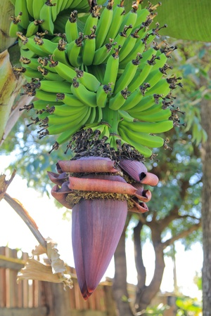 Banana flower and bunch, hanging, Thailand, plantation photo